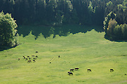 Pferde und Mutterkühe mit Kälbern in der Halboffenen Weidelandschaft oder Hudelandschaft in Crawinkel. | Horses and cows in the landscape in Crawinkel, Germany