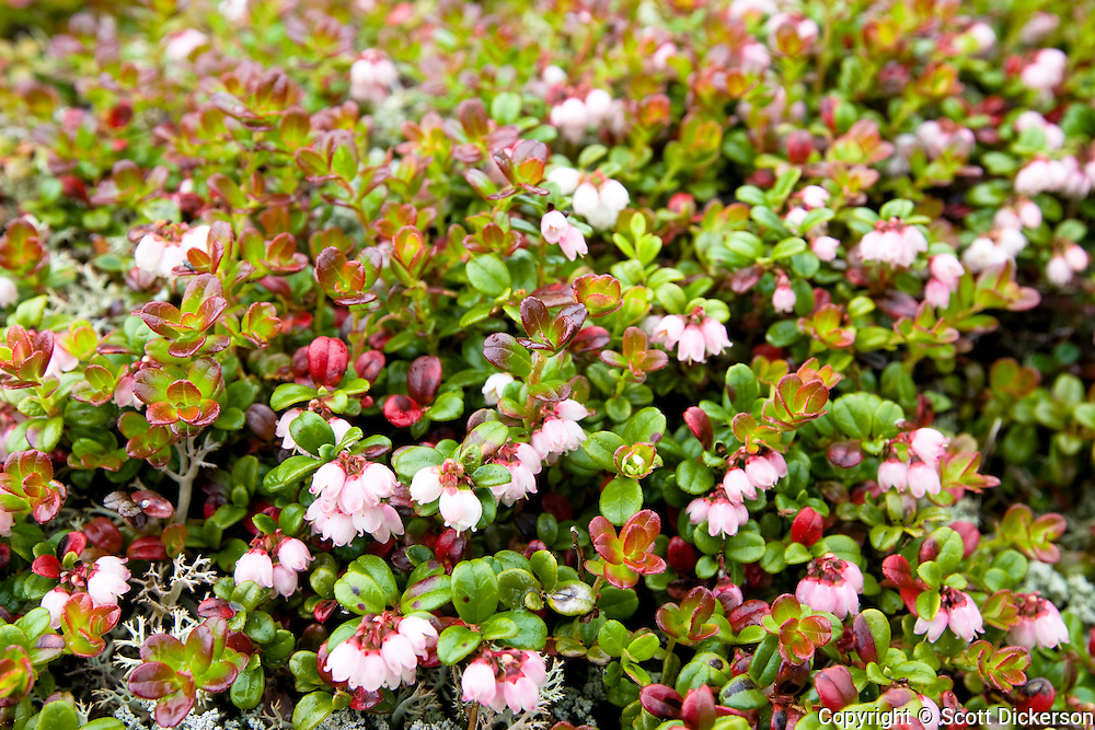 One of the many types of wildflowers that grow in the lush tundra in Bristol Bay, Alaska.