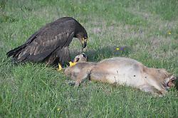 Immature Bald Eagle (Haliaeetus leucocephalus) and Black-tailed (Odocoileus hemionus columbianus) Deer Fawn Carcass, Orcas Island, Washington, US