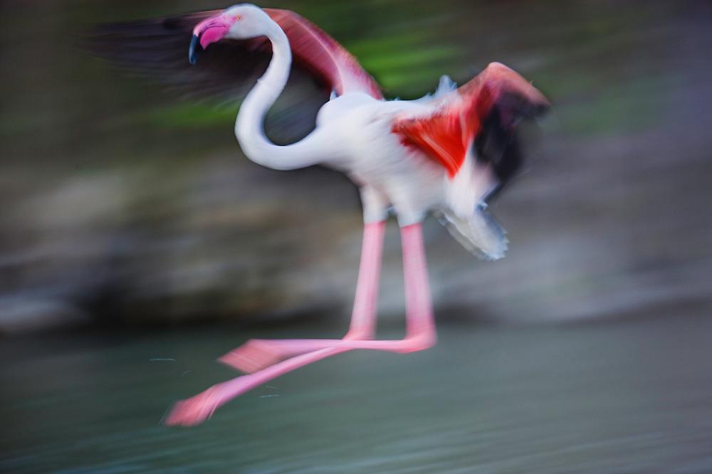 Greater Flamingo (Phoenicopterus roseus) landing in lagoon, motion blur, Camargue, France