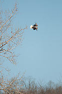 This bald eagle lept from its perch in a tree along the Chemung river in Elmira, NY and flew off over the hillside.