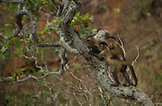 Brown Capuchin Monkeys<br /> Cebus apella<br /> Cerrado Habitat, Piaui State.  BRAZIL.  South America