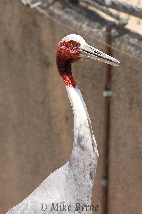 Close up of an Indian Sarus Crane (Grus antigone).