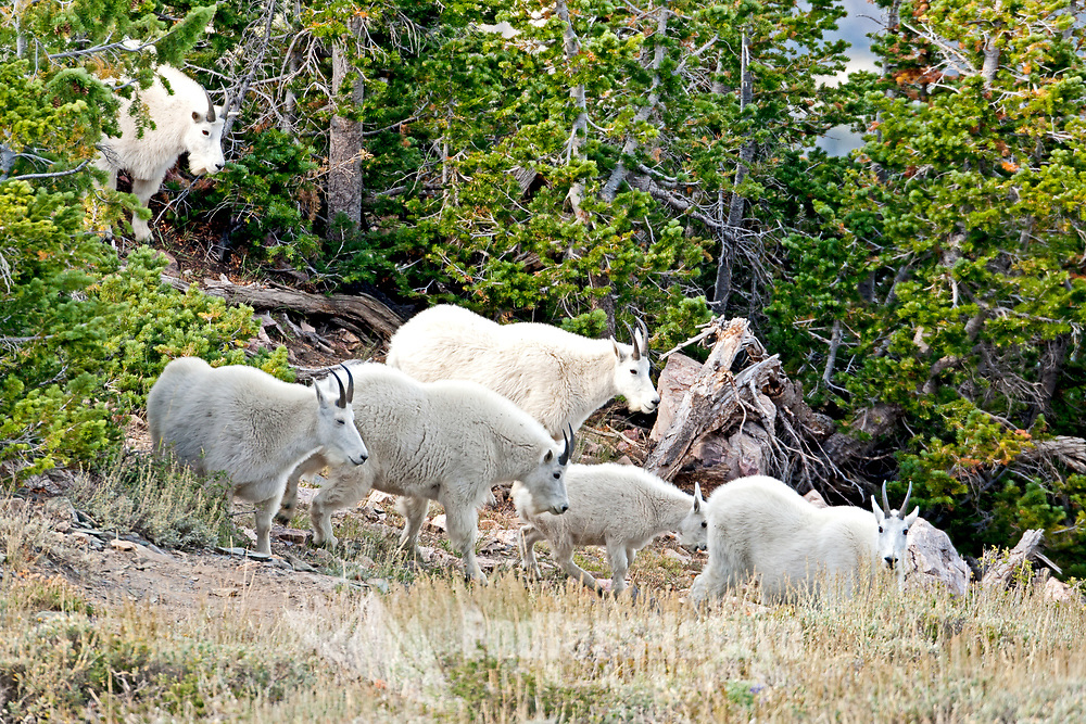 A group of northern Utah Mountain Goats travels off the cliff side into the pine trees to graze and rest.