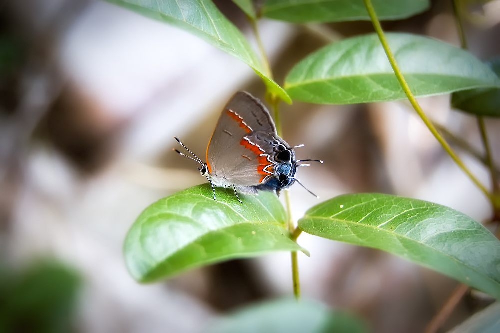 One of Florida's most beautiful hairstreaks - the tiny red-banded hairstreak is found often in rural fields and oak hammocks.