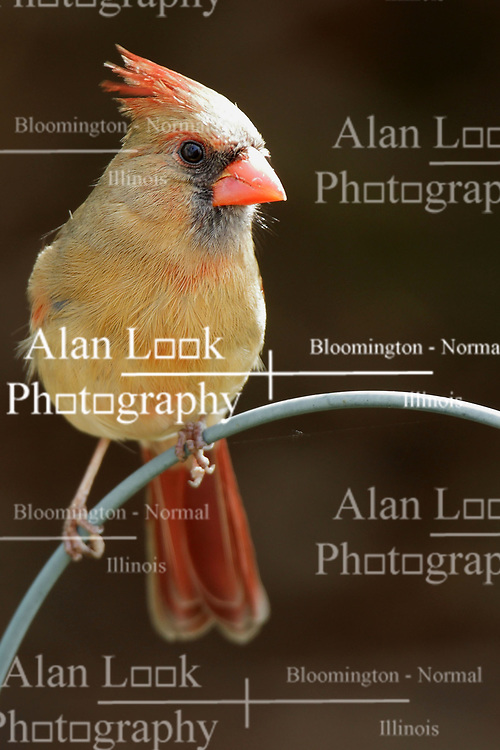 Birds:  An female red cardinal perches on a piece of hoop shaped wire ornamental fencing