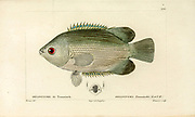 Helostoma from Histoire naturelle des poissons (Natural History of Fish) is a 22-volume treatment of ichthyology published in 1828-1849 by the French savant Georges Cuvier (1769-1832) and his student and successor Achille Valenciennes (1794-1865).