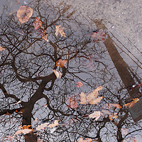 Tree and telephone pole reflected in puddle with leaves.