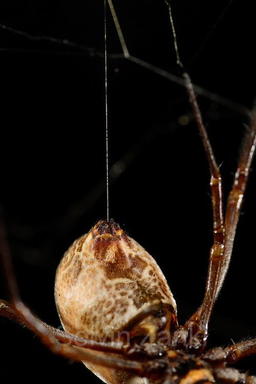 [captive] Female Golden Silk Orbweavers (Nephila clavipes) with silk thread. | Weibliche Goldene Radnetzspinne (Nephila clavipes) mit Seidenfaden.