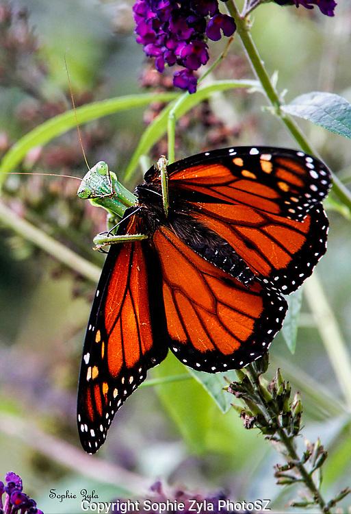 Praying Mantis Monarch Costume