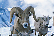 A bighorn sheep (Ovis canadensis canadensis) family group featuring a ram and several juvenile ewes. Lostine Ridge, Wallowa Mountains, Oregon.