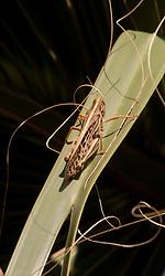 Grasshopper on Saw Palmetto (Serenoa repens), Merritt Island National Wildlife Refuge, Titusville, Florida, US