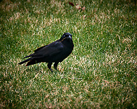 Black Crow. Image taken with a Nikon D5 camera and 80-400 mm VRII lens (ISO 250, 400 mm, f/5.6, 1/400 sec).