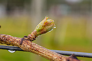 Bud Break, Wolfer Estate Vineyards, Sagaponack, Long Island, New York
