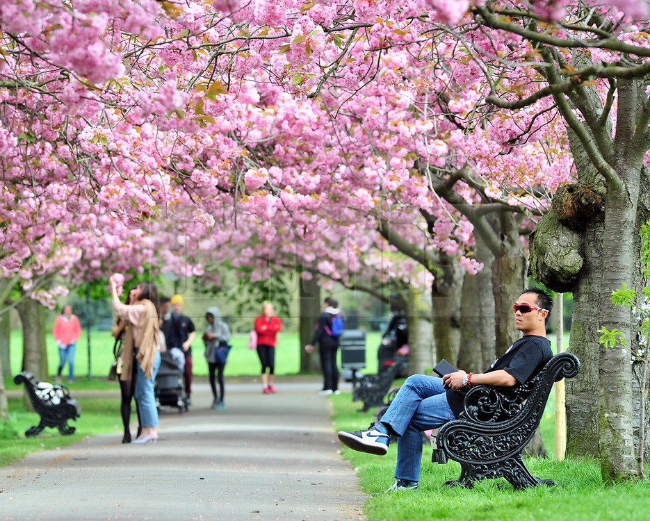 © Licensed to London News Pictures.23/04/2018<br /> GREENWICH, UK.<br /> Greenwich Park Cherry Blossom,Greenwich. <br /> Photo credit: Grant Falvey/LNP