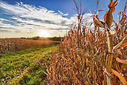 USA, Nebraska, near Omaha. Cornfield at Sunset.