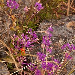 Wildflowers, Yellow Island, San Juan Islands, Washington, US