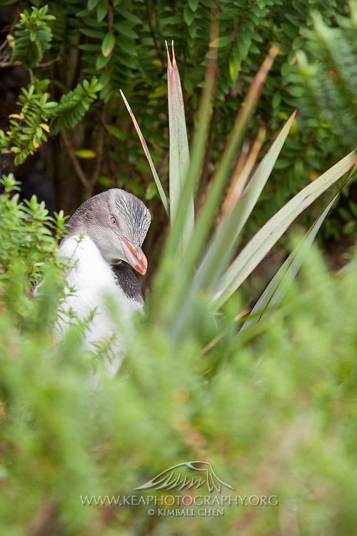 Yellow-eyed Penguin, Stewart Island, New Zealand