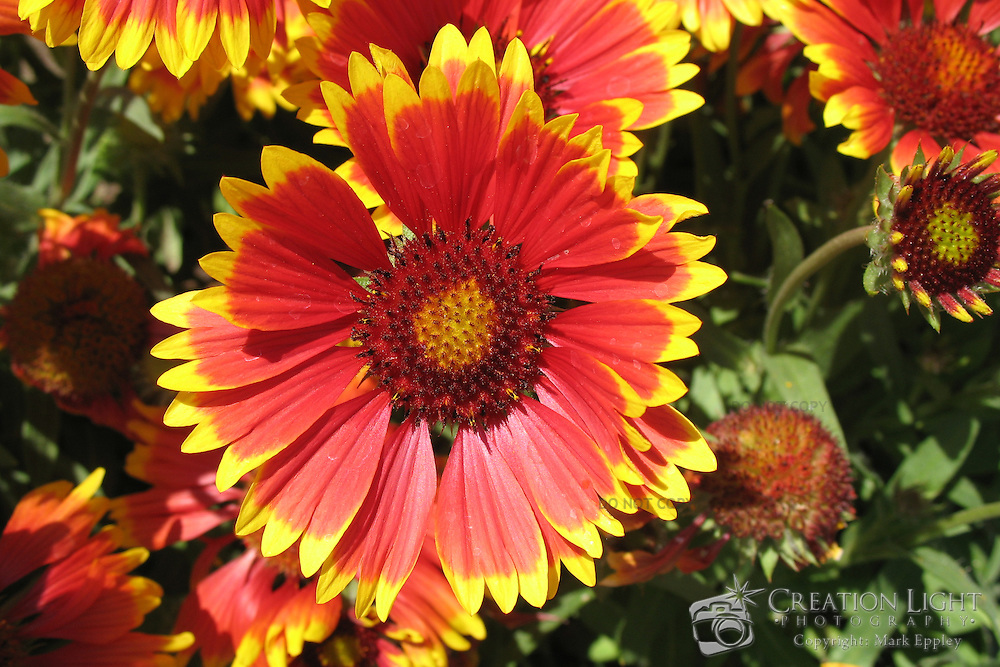 Gaillardia sp. (Firewheel, Indian blanket, Indian Blanketflower, or Sundance), is a short-lived annual flowering plant having vivid red, orange, and yellow colors. It is a part of the Asterales order and the Asteraceae family.