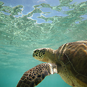 Green turtles are not named for the color of their shells (reddish-Brown) but the color of their meat.