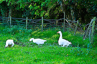 Animals, geese.<br />