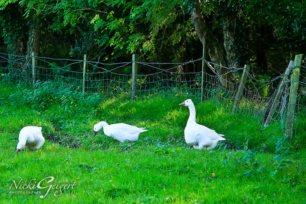 Animals, geese.<br /> MG0504