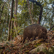 The wild boar (Sus scrofa), also known as the wild swine, Eurasian wild pig, or simply wild pig, is a suid native to much of Eurasia. Photographed in Kaeng Krachan National Park.