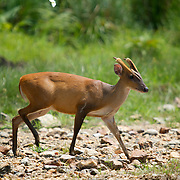 Male Red (or common) Muntjac Deer, Muntiacus muntjac, also known as a barking deer in Huai Kha Kaeng, Thailand.