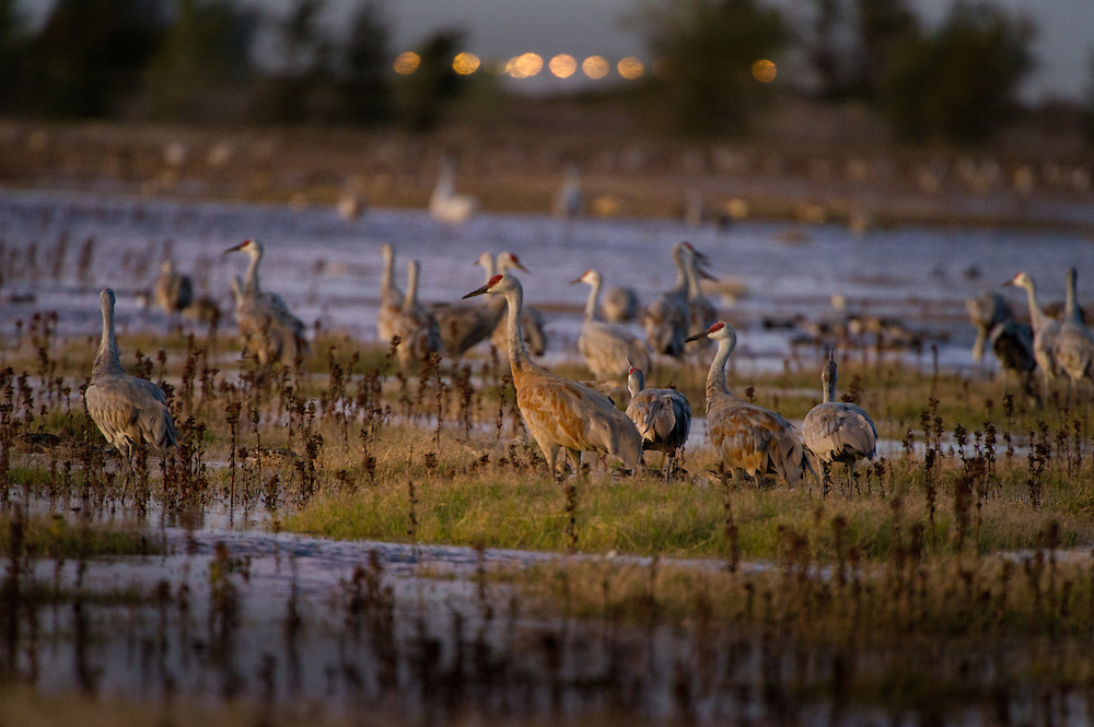 Greater Sand Hill Cranes along with several hundred other species of fowl sit in their bedroom for the night at the Cosumnes River Preserve. November 2, 2011.