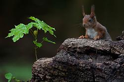 Eekhoorn kijkt boven een boomstronk uit; Red Squirrel looking over a tree trunk