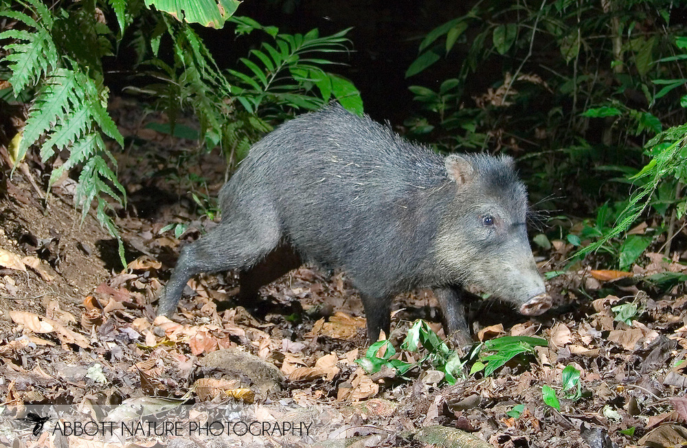 White-lipped Peccary (Tayassu pecari)<br /> COSTA RICA<br /> Corcovado National Park<br /> Sirena Biological Station<br /> 11-Feb-2007<br /> J.C. Abbott &amp; K.K. Bauer<br /> photographed with trap camera