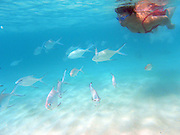 Miyako-jima. Maehama - Japan's most beautiful beach. Underwater swim with tropical fish in front of Miyakojima Tokyu Resort.