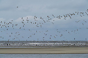 Mixed terns & skimmers<br /> Little St Simon's Island, Barrier Islands, Georgia<br /> USA<br /> HABITAT & RANGE: