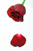Close-up of red rose on white background