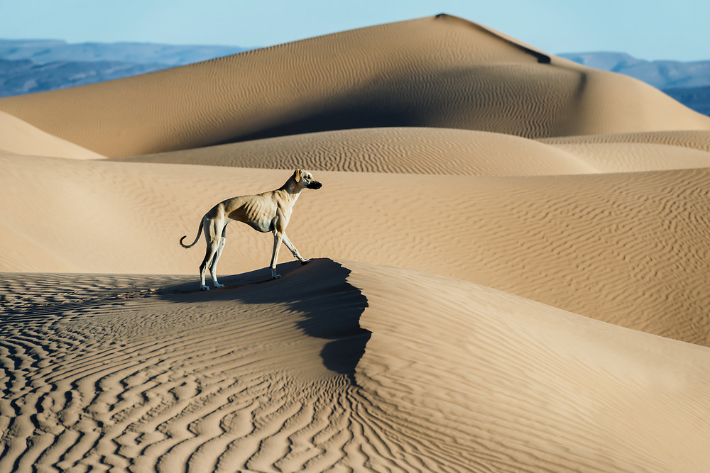 A brown Sloughi dog (Arabian greyhound) stands on top of a sand dune in the Sahara desert of Morocco.