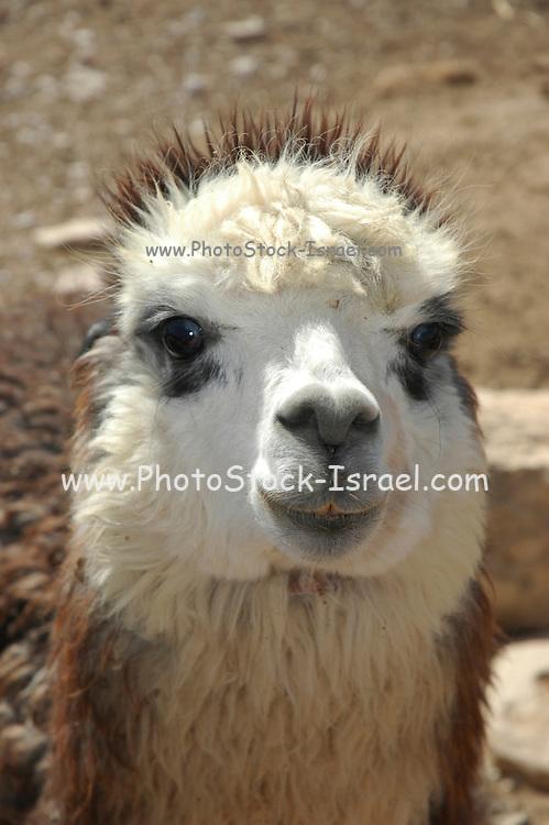 Israel, Negev, Mitzpe Ramon, The Alpaca Farm