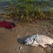 A dead fish fish floats on the shoreline near a red towel and marsh grass.