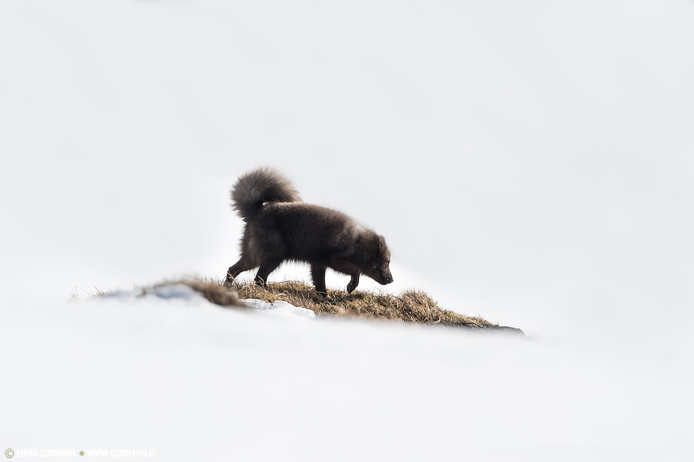 Surrounded by the white world of snow. Wild Arctic fox in Iceland. Sometimes called mountain-fox.