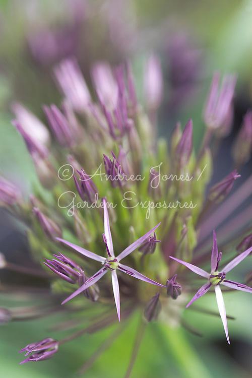 Allium sativa (Garlic flower)