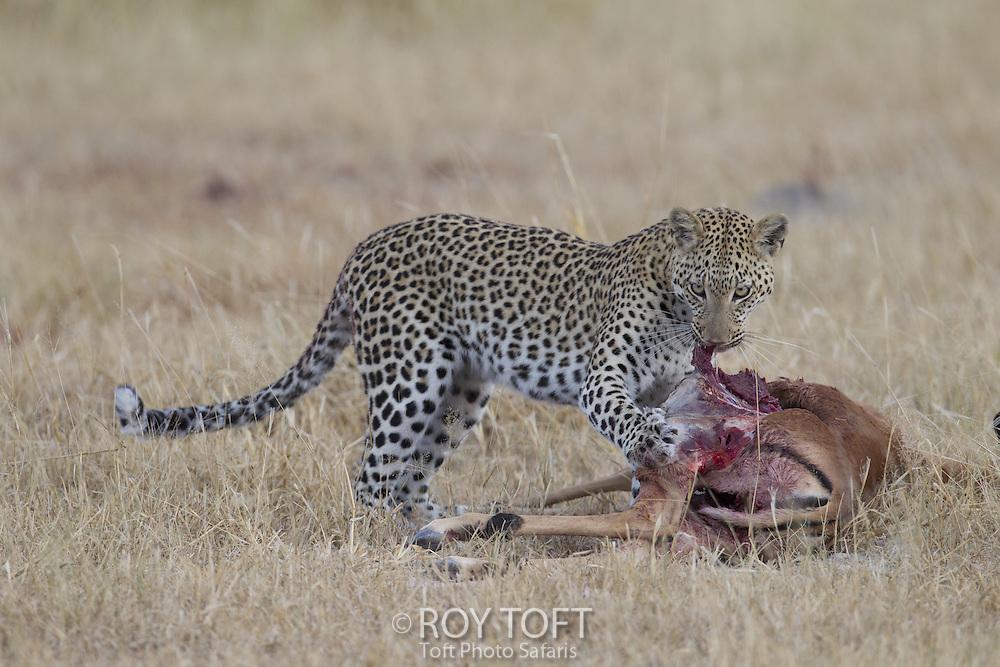 Leopard with an Impala kill, Okavango Delta, Botswana