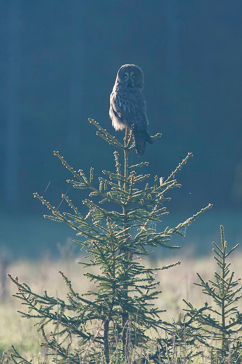 Great grey owl (Strix nebulosa) backlit at dawn, Bergslagen, Sweden.