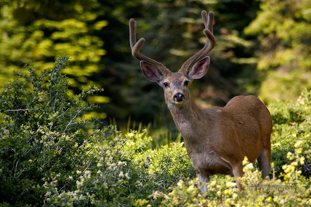 Male buck Mule Deer Odocoileus hemionus, Dorst Creek, Sequoia National Park, California