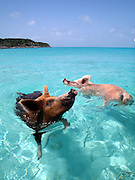 "Pigs swim in sea in Bahamas<br /> Swimming pigs have been photographed taking a dip in the tropical waters of the Bahamas.<br /> <br /> The family of brown and pink boars and piglets live freely on the sandy white beaches and even swim in the surf on Big Major Spot Island.<br /> They are such a familiar sight at the spot that locals have named the area ""Pig Beach.""<br /> And they were snapped by underwater photographer Christopher Dorobek who stumbled across the unusual residents during a diving expedition.<br /> ""We were in the southern Bahamas to photograph oceanic white-tip sharks,"" <br /> ""Our captain, Jim Abernethy, had heard that there were pigs on Big Major so we decided to go and check it out.<br /> ""Upon approaching the white sandy beach, it is easy to spot the pigs - both pink and dark brown - laying in the sand.<br /> ""You never know what you'll see when you're out tracking down wildlife.""<br /> Pigs are omnivorous animals found throughout Africa, Europe and Asia. However one species, the domestic pig (Sus Scrofa), are found almost worldwide as a domestic and feral species.<br /> ""I'm not sure how these domestic pigs (gone feral) came to live on this particular beach in the Bahamas, but they are well-known to locals, who have been feeding them for years,"" says Mr Dorobek .<br /> ""Because locals bring food, the pigs will run into the water and actually swim out to the oncoming boats, as if to greet them individually.<br /> ""It is strange enough to see pigs laying around on tropical beaches of white sand, but to see them then charge into the water to greet oncoming boats is just bizarre.""<br /> ©Christopher Dorobek/Exclusivepix"