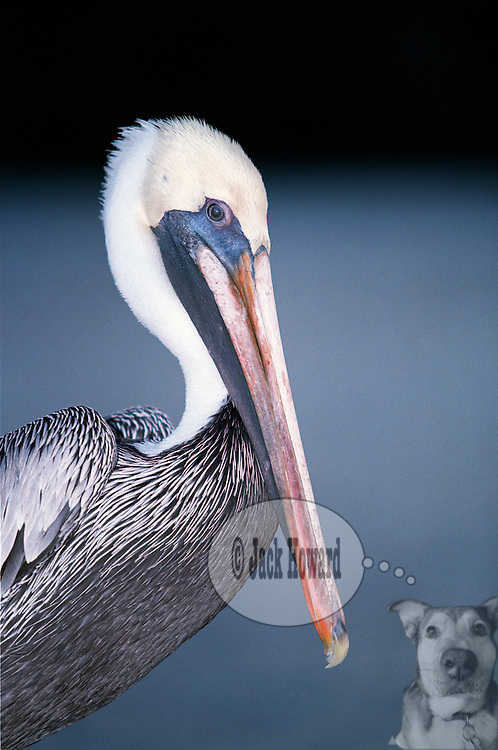 11/29/2002 - Stuart, Florida - Brown Pelican - Pelicaniforme - Pelicanus occidentalis - Brown Pelican(s) at Stuart, Florida Municipal docks, at twilight...JACK HOWARD PHOTOGRAPH