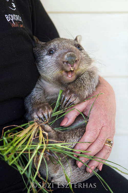 Common Wombat <br /> Vombatus ursinus<br /> Seven-month-old orphaned joey (mother was hit by car) at feeding time<br /> Bonorong Wildlife Sanctuary, Tasmania, Australia<br /> *Captive- rescued and in rehabilitation program