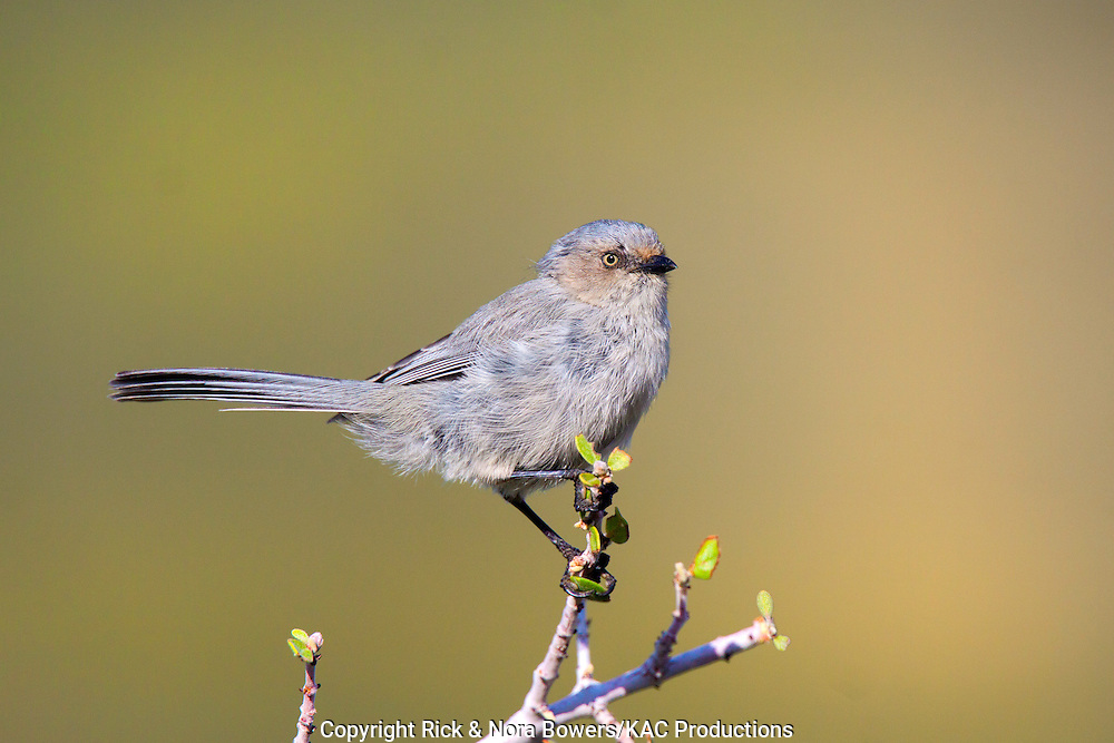 Bushtit <br /> Psaltriparus minimus<br /> Oracle, Pinal County, Arizona, United States<br /> 10 September     Adult female interior race      Aegithalidae