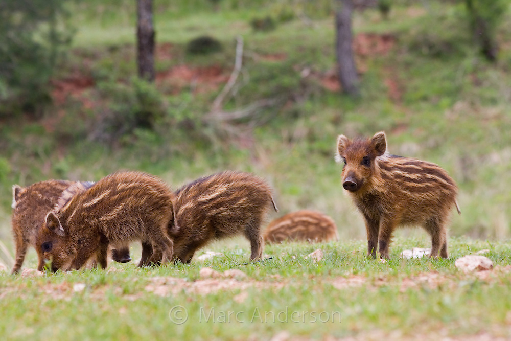 Iberian Wild Boar Piglets (Sus scrofa baeticus), Cazorla National Park, Jaen Province, Andalucia, Spain