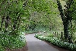 Wild Garlic growing beside a lane in Gloucestershire. Ramsons. Allium ursinum