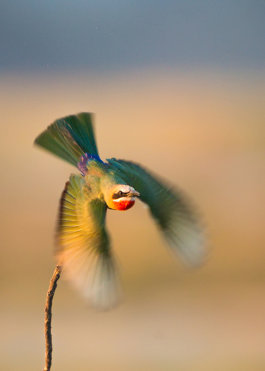 Bee-eater takes flight in the golden light on the shore of the Zambezi in Mana Pools, Zimbabwe