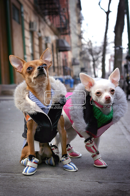 26th February 2005. New York, NY. 'Doggie Style'. When temperatures hit below freezing in New York City, some of the most fashionable dogs in the world hit the sidewalks and strut their stuff in designer dog clothes, from booties to bowties, 'barka jackets' and Japanese imports. Pictured are Chihuahuas Cinnabon Bon (left) and Vanilla Salt, both wearing $130.00 Parka jackets imported from Japan. $45.00 sweaters and $60.00 boots. ..PHOTO © JOHN CHAPPLE / WWW.JOHNCHAPPLE.COM..THIS COPYRIGHTED IMAGE MUST NOT BE USED WITHOUT PERMISSION